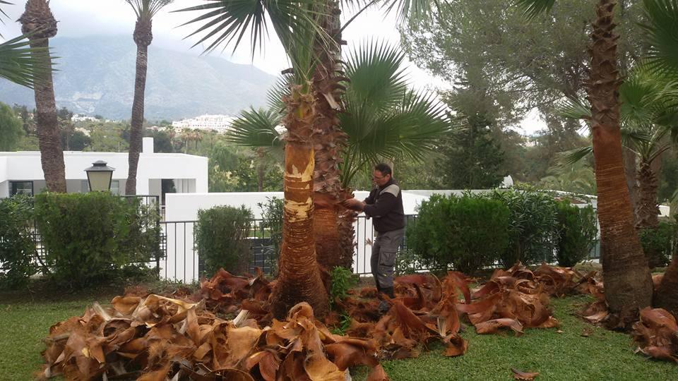 Poda de palmeras en Marbella